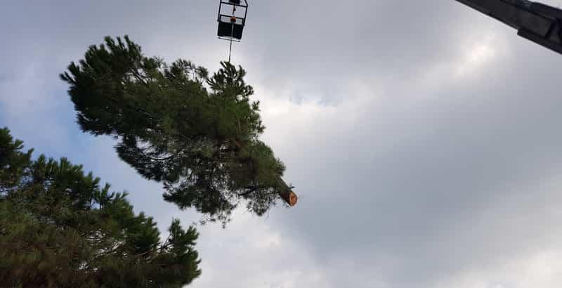 κλαδέματα δέντρων καλλωπισμό του πεύκου